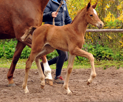 Trakehner Filly by Touch my Heart out of Pr.a.StPrSt. Klassic by Freudenfest