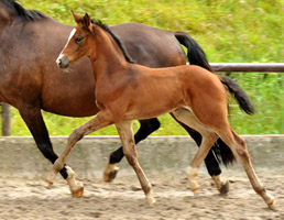 Trakehner Filly by Saint Cyr out of Tavolara by Exclusiv