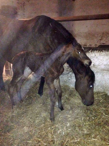 First picture: Filly by High Motion out of Karalina by Exclusiv - im Gestüt Schäplitz - Foto