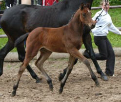Filly by Perechlest out of Vicenza by Showmaster, Foto: Peter Richterich