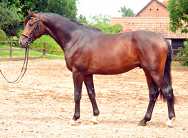 Sandringham 5year old Trakehner Gelding by Exclusiv