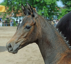 Trakehner Filly by  Al Ashar ox out of Witney by Tuareg - Xaver, Foto: Beate Langels, Hämelschenburg