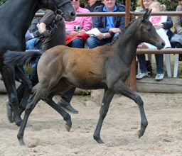 Filly by Al Ashar ox out of Witney by Tuareg - Xaver, Foto: Beate Langels, Hämelschenburg
