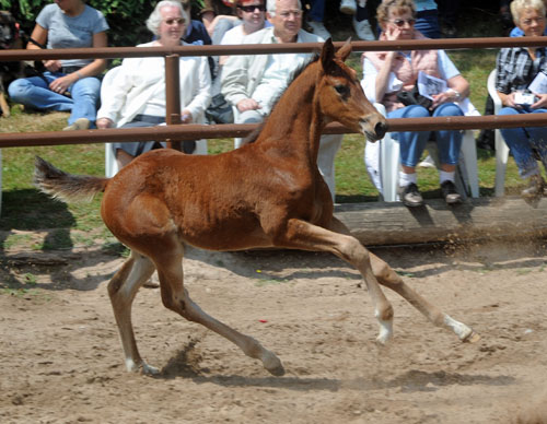 Trakehner Fily by Saint Cyr out of Pr. a. St.Pr.St. Guendalina by Red Patrick xx