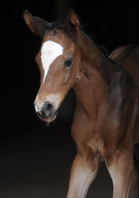 Trakehner Filly by Saint Cyr out of Championmare Greta Garbo by Alter Fritz, Gestüt Hämelschenburg - Beate Langels