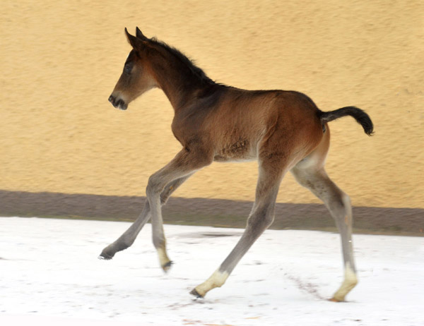 At the age of two days: Trakehner Colt by Summertime out of Thirica by Enrico Caruso - Trakehner Gestüt Hämelschenburg - Beate Langels