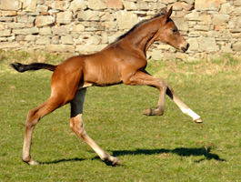 Trakehner Colt by High Motion out of Pr.u.StPrSt. Schwalbenlicht by Imperio - Gestüt Hämelschenburg - Foto: Beate Langels