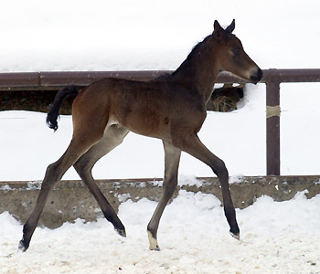 4 day old: Takehner Filly by Insterburg out of Pr.u. StPrSt. Karena by Freudenfest, Gestüt Hämelschenburg - Beate Langels