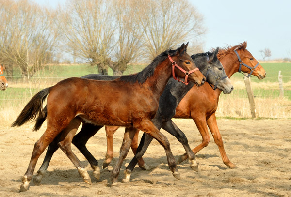 One year old Trakehner colts: Turbo Fritze by Friedensfürst, in the middle grey Colt by Saint Cyr out of Teatime - and chesnut colt Tudor by Iskander - Foto: Beate Langels - Trakehner Gestüt Hämelschenburg