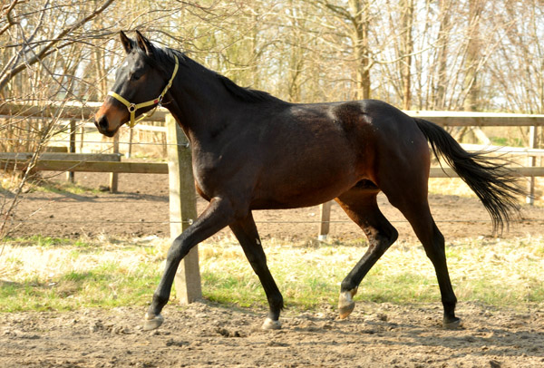2year old colt by Songline out of Partin by Kostolany  - Foto: Beate Langels - Trakehner Gestüt Hämelschenburg