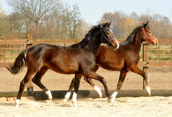One year old Fillys - left: Saint Cyr x Freudenfest, right: Saint Cyr x Alter Fritz - Foto: Beate Langels - Trakehner Gestüt Hämelschenburg