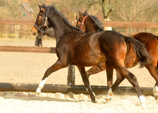 One year old Trakehner Filly by Saint Cyr out of Dejaniera by Freudenfest - Foto: Beate Langels - Trakehner Gestüt Hämelschenburg