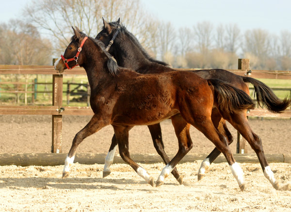 One year old Trakehner Filly by Saint Cyr out of Pr.a.StPrSt. Grace Note by Alter Fritz - Foto: Beate Langels - Trakehner Gestüt Hämelschenburg