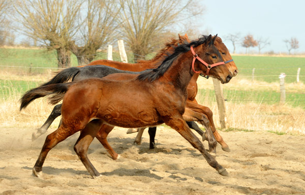 One year old Trakehner colt Turbo Fritze by Friedensfürst - Foto: Beate Langels - Trakehner Gestüt Hämelschenburg
