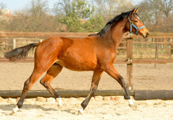 One year old Trakehner Filly by Syriano out of PrSt. Gracia Patrizia by Alter Fritz - Foto: Beate Langels - Trakehner Gestüt Hämelschenburg