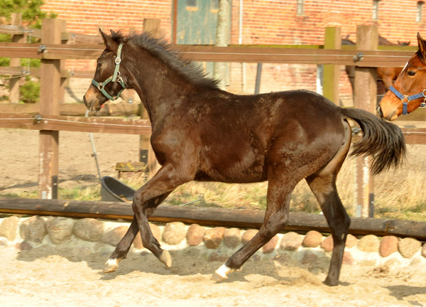 One year old Trakehner Filly by Freudenfest out of Laudatio by Kostolany - Wie Ibikus  - Foto: Beate Langels - Trakehner Gestüt Hämelschenburg