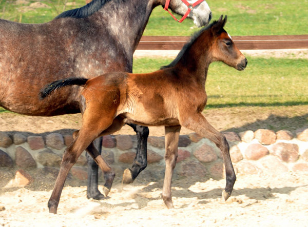 Trakehner Filly by Exclusiv out of Teatime by Summertime  - Foto: Beate Langels - Trakehner Gestüt Hämelschenburg