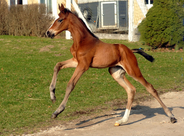 At the age of three days: Trakehner Colt by Freudenfest out of Karalina by Exclusiv - Foto: Beate Langels - Trakehner Gestüt Hämelschenburg