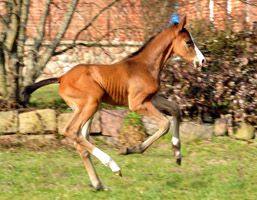 Trakehner Colt by Freudenfest out of Karalina by Exclusiv, Foto: Beate Langels