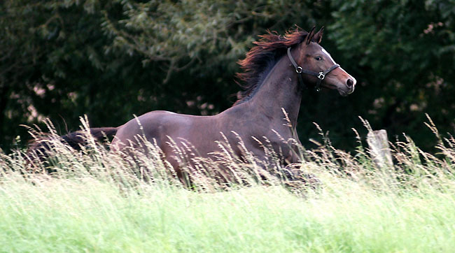 One year old colt by Kostolany out of Elite mare Schwalbenspiel by Exclusiv - im September 2008