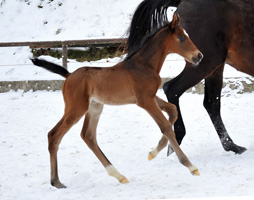 Trakehner Colt by Showmaster out of Kaiserspiel by Exclusiv - Gestüt Hämelschenburg - Beate Langels