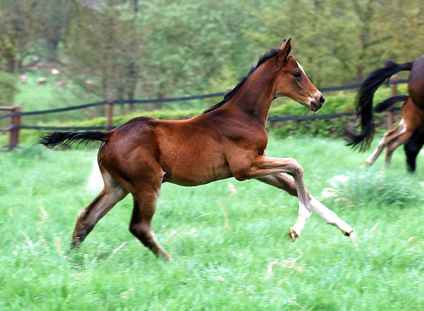 Filly by Exclusiv out of Vicenza by Showmaster - Trakehner Gestüt Hämelschenburg - Foto: Beate Langels