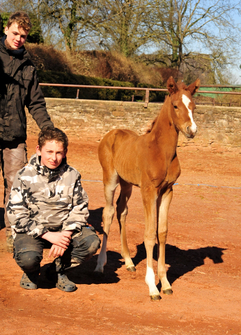 Chesnut Filly by Alter Fritz out of Giulietta by Saint Cyr - Red Patrick xx