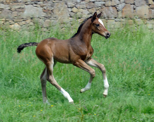 Trakehner Filly by Saint Cyr out of Championmare Greta Garbo by Alter Fritz, Foto: Beate Langels, Trakehner Gestüt Hämelschenburg
