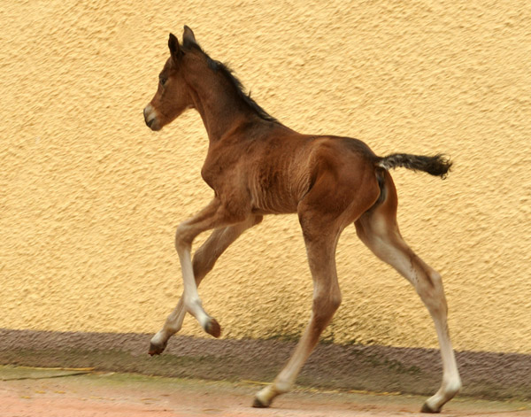 Trakehner Filly by Saint Cyr out of Pr. u. StPrSt. Karena by  Freudenfest - Foto: Beate Langels, Trakehner Gestüt Hämelschenburg