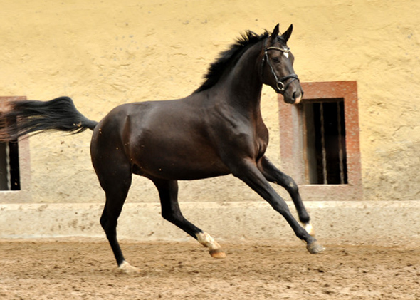 Trakehner Colt by Summertime out of Thirica by Enrico Caruso - Foto: Beate Langels
