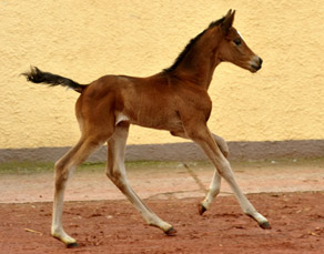 Trakehner Filly by Saint Cyr out of Pr. u. StPrSt. Karena by . Freudenfest - Foto: Beate Langels, Trakehner Gestüt Hämelschenburg