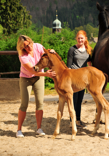 Trakehner Filly by High Motion out of Pr.u.StPrSt. Vittoria by Exclusiv- Trakehner Gestüt Hämelschenburg - Foto: Beate Langels - Trakehner Gestüt Hämelschenburg