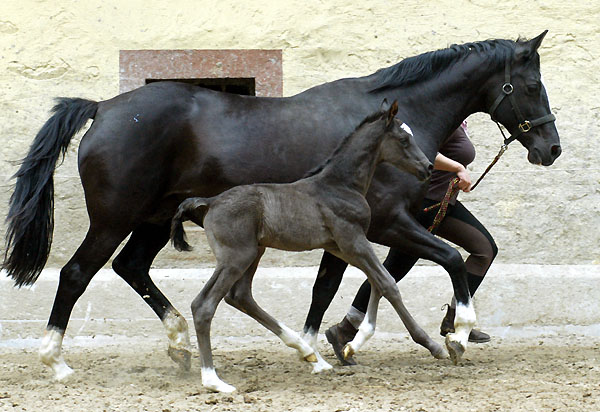 Black Trakehner colt by Shavalou out of Greta Garbo by Alter Fritz, Gestüt Hämelschenburg - Beate Langels