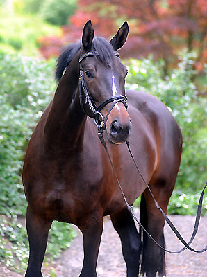 3year old Trakehner Mare Kaiserspiel by Exclusiv out of Kaiserzeit by Summertime - Foto: Beate Langels - Trakehner Gestüt Hämelschenburg