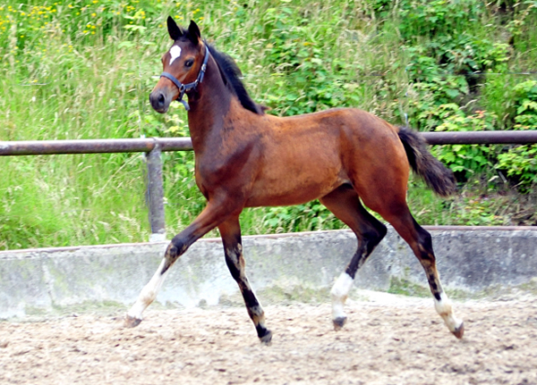Gabbana - Trakehner Filly by High Motion ouf of Elitemare Greta Garbo, Foto: Beate Langels - Gestüt Hämelschenburg