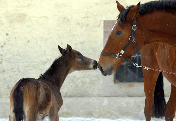 1 day old: Takehner Filly by Insterburg out of Pr.u. StPrSt. Karena by Freudenfest, Gestüt Hämelschenburg - Beate Langels