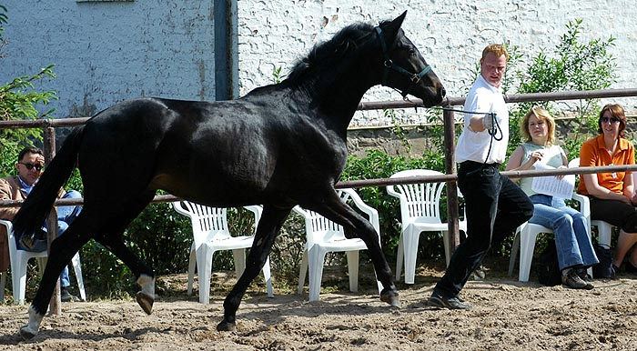 2year old Trakehner by Summertime out of Champion-Mare Greta Garbo by Alter Fritz