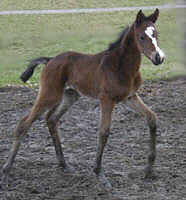 3 day old filly by Summertime iut of Miss Marple by Buddenbrock - photo: Michaela Böhn