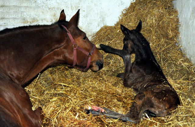 First pictures: Trakehner Filly by Honoré du Soir out of Pr.a.StPrSt. Karena by Freudenfest - im Gestüt Hämelschenburg - Foto Beate Langels