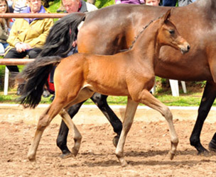 Filly by Saint Cyr out of Pr.St. Ava by Freudenfest - Foto Beate Langels