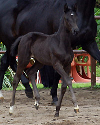 Filly by Exclusiv out of Herzsopran by Hohenstein