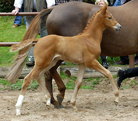 Filly by Hope of Heaven out of Alla Tedesca by Buddenbrock, Foto: Beate Langels