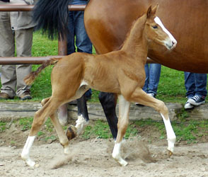 Colt by Freudenfest out of Rondesvous by Kostolany - Foto Beate Langels