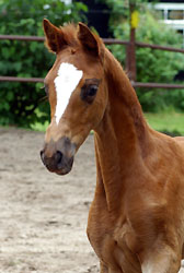 Filly by Kostolany out of Erina by Caprimond, Foto: Beate Langels