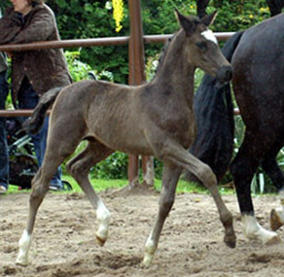 Colt by Shavalou out of Greta Garbo by Alter Fritz, Foto: Beate Langels