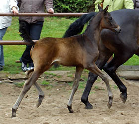 Colt by Summertime out of Belle de Loup by Heuriger, Foto Beate Langels