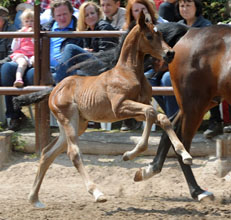 Filly by  Saint Cyr out of Fürstenrose by Fürst Piccolo, Foto: Beate Langels