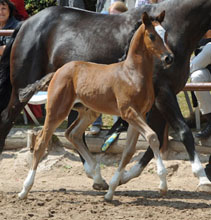 Trakehner Filly by  Saint Cyr out of Greta Garbo by Alter Fritz, Foto: Beate Langels