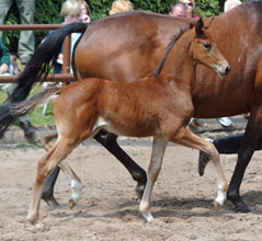 Trakehner Filly by Saint Cyr out of Pr. u. StPrSt. Guendalina by Red Patrick xx Foto Beate Langels
