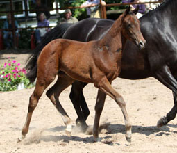 Trakehner Filly by Symont out of Pr.St. Esther by Kostolany - Foto Ulrike Sahm